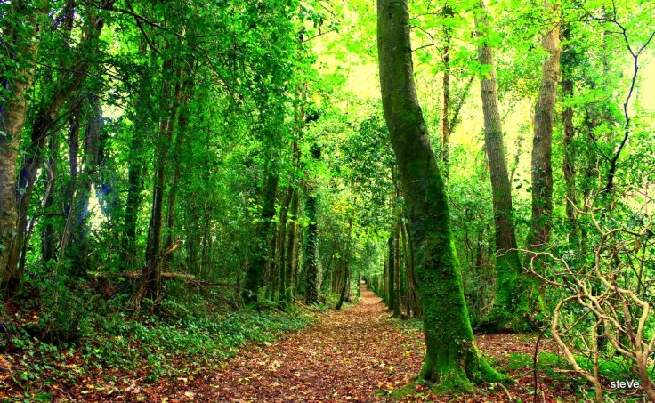 Forest in Co.Wexford, Ireland